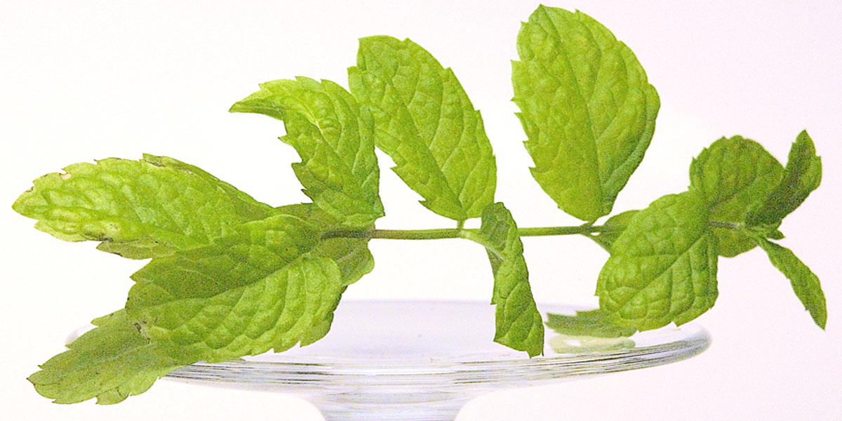 Als Garnitur eignet sich ein Minze-Zweig hervorragend -  ihr Duft wirkt betörend und appetitanregend.